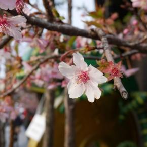 巨大な五円玉とカメレオンで有名なうなぎやさん前の河津桜。