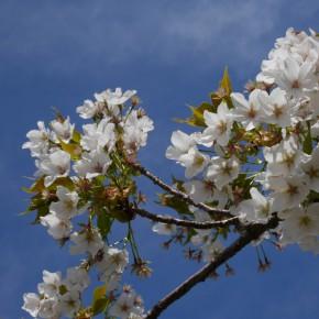 桜もきれいに咲いていました。
